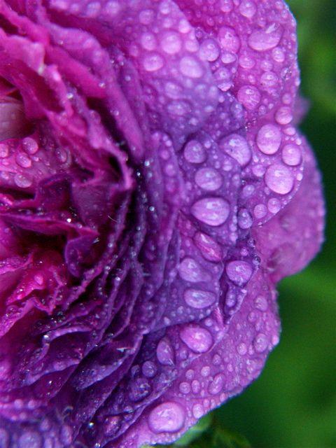 Raindrops on Roses。_e0044929_7274966.jpg