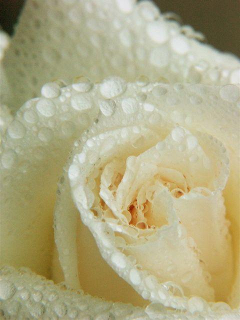 Raindrops on Roses。_e0044929_728389.jpg