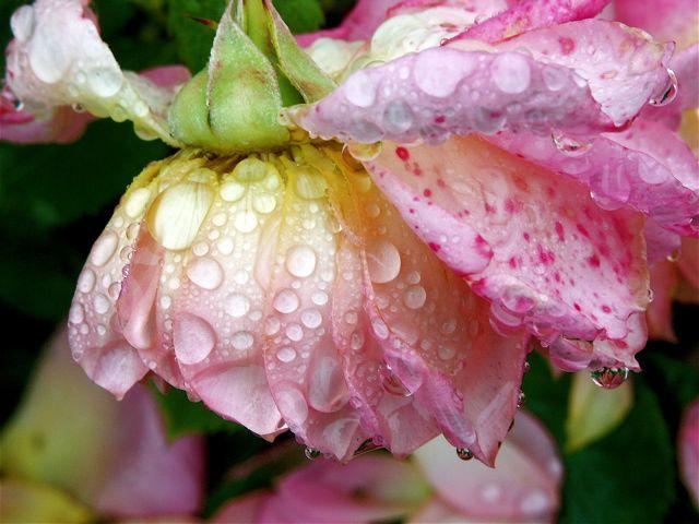 Raindrops on Roses。_e0044929_7524499.jpg