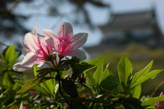和歌山城とつつじ_b0093754_21302459.jpg
