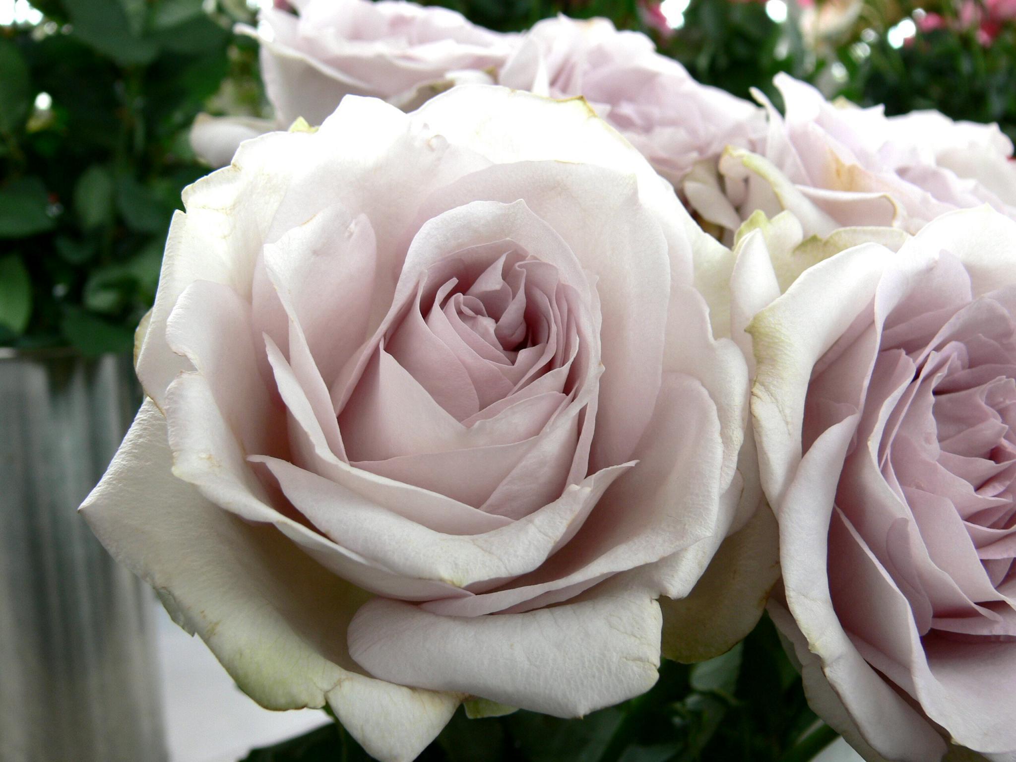 バラの画像 p1_36