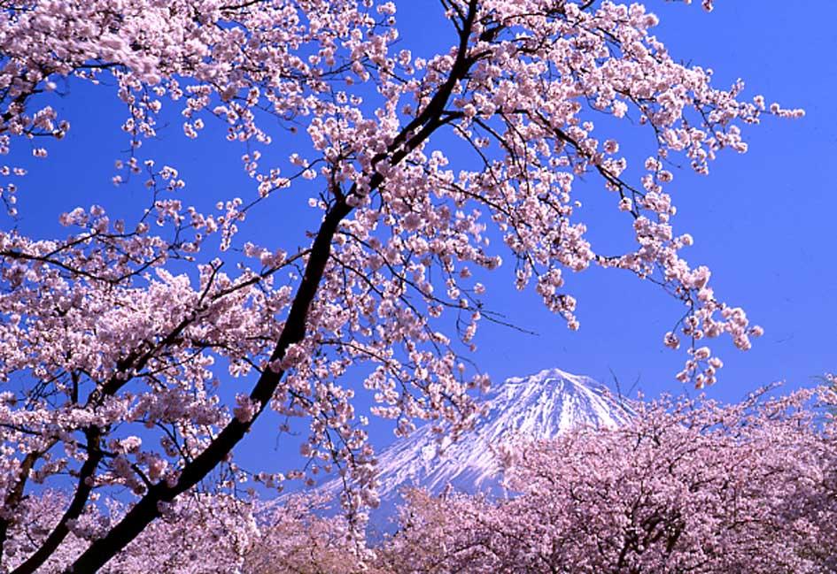 桜前線・函館_b0093088_631579.jpg