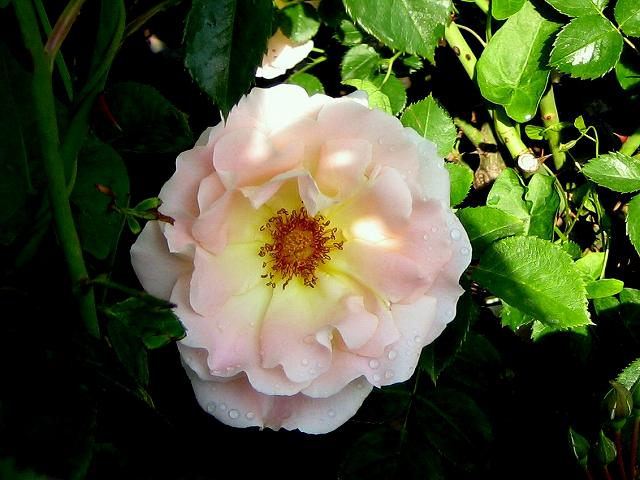セルバンテス公園のバラ3 ロココ_b0064411_18411189.jpg