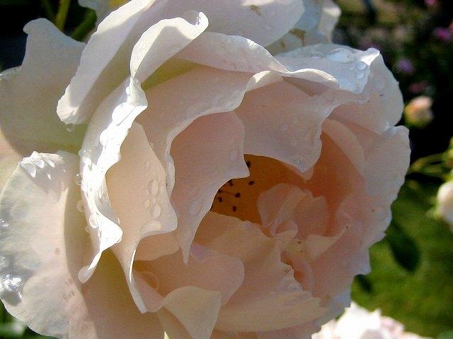 セルバンテス公園のバラ3 ロココ_b0064411_18415430.jpg