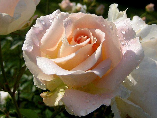 セルバンテス公園のバラ3 ロココ_b0064411_18422765.jpg