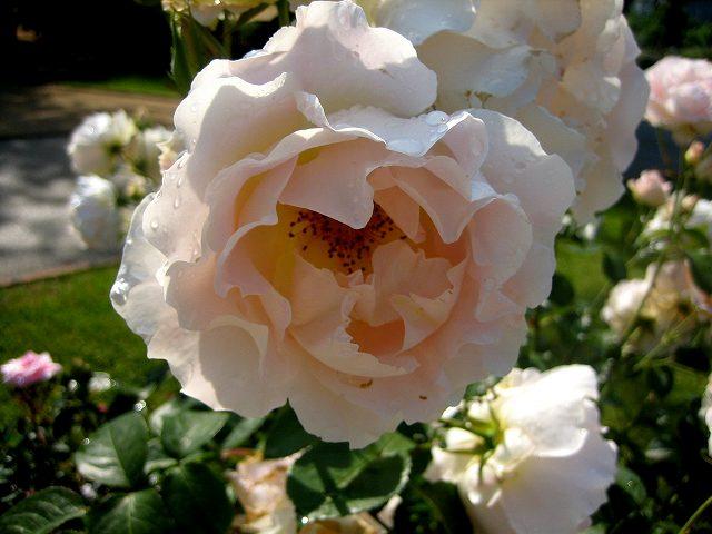 セルバンテス公園のバラ3 ロココ_b0064411_18431351.jpg