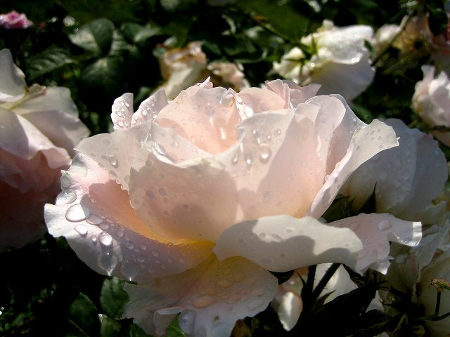 セルバンテス公園のバラ3 ロココ_b0064411_18432674.jpg