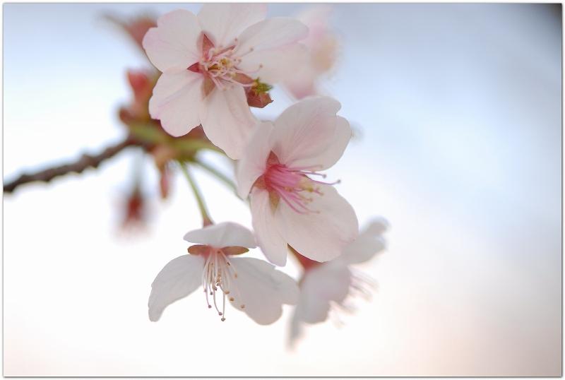 桜の季節です_c0051132_2051548.jpg