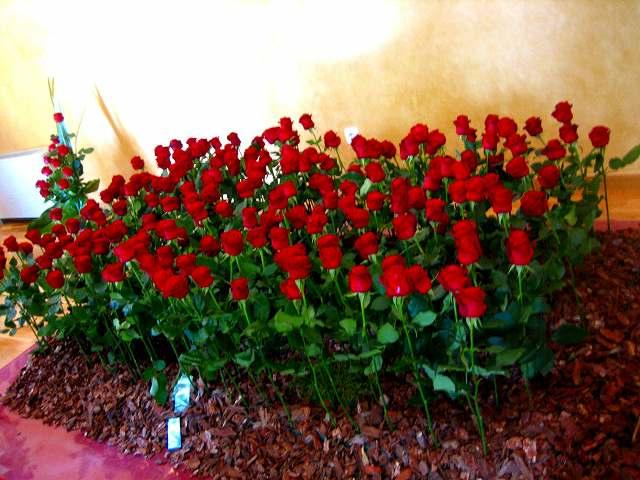San Feliuのバラ展示会_b0064411_725527.jpg