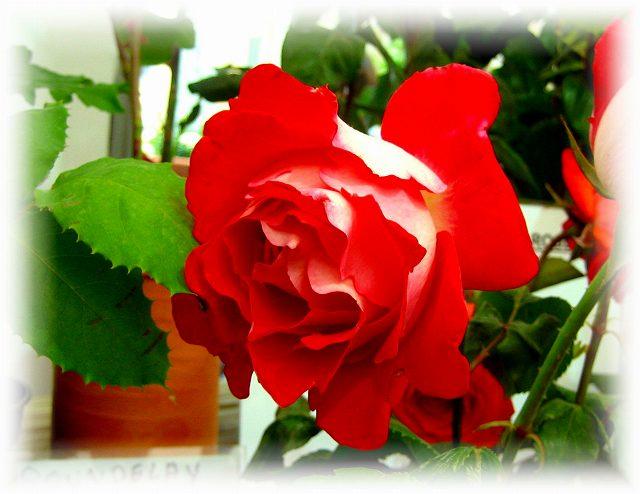 San Feliuのバラ展示会_b0064411_7341939.jpg