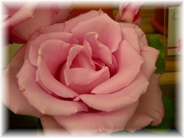 San Feliuのバラ展示会_b0064411_7343611.jpg