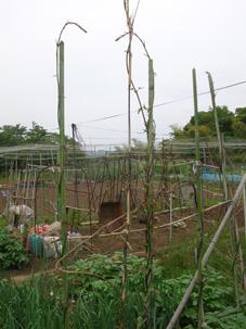 やっとサトイモの芽が出た!タマネギ間もなく収穫(5・15)_c0014967_19323066.jpg