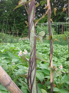 やっとサトイモの芽が出た!タマネギ間もなく収穫(5・15)_c0014967_1932615.jpg