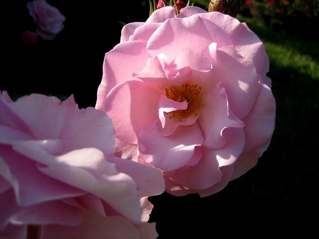 セルバンテス公園のバラたち  4_b0064411_21112140.jpg