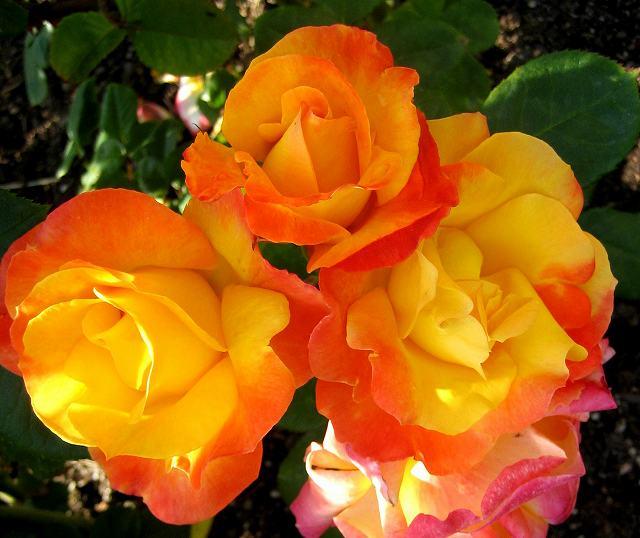 セルバンテス公園のバラたち  4_b0064411_21115467.jpg