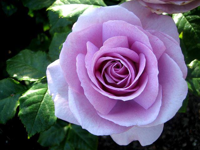 セルバンテス公園のバラたち  4_b0064411_21122033.jpg