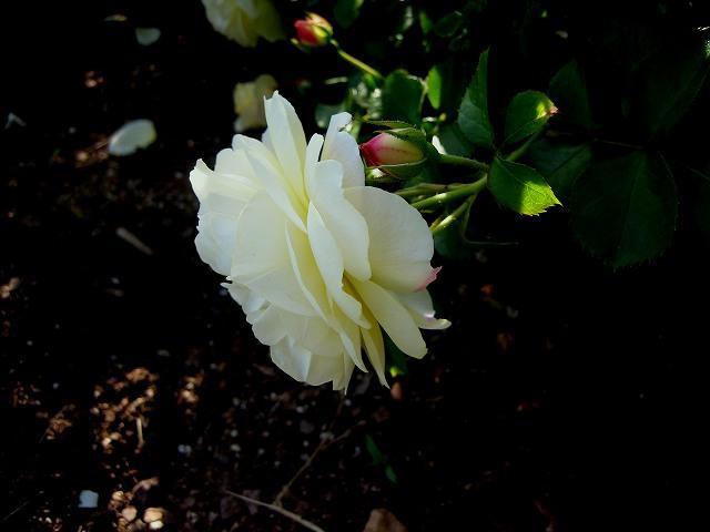 セルバンテス公園のバラたち  4_b0064411_21133825.jpg