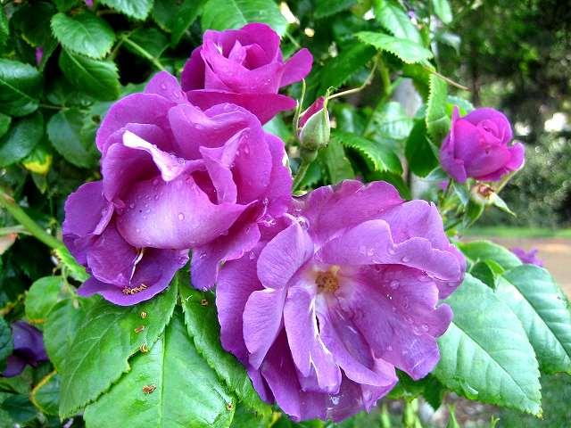 セルバンテス公園のバラたち  4_b0064411_21172271.jpg