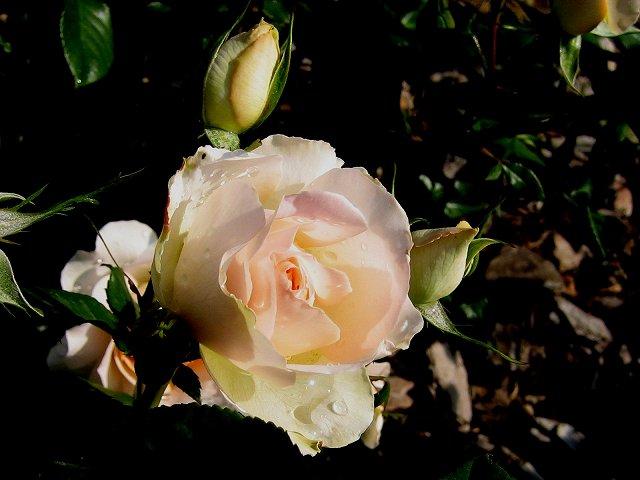 セルバンテス公園のバラたち  4_b0064411_21185886.jpg