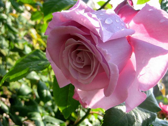 セルバンテス公園のバラたち  4_b0064411_2123060.jpg