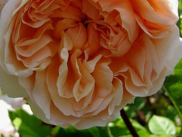 セルバンテス公園のバラたち  4_b0064411_2124848.jpg