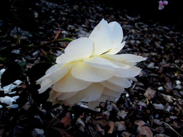 セルバンテス公園のバラたち  4_b0064411_2126769.jpg