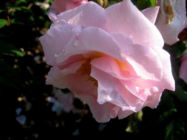 セルバンテス公園のバラたち  4_b0064411_21292514.jpg