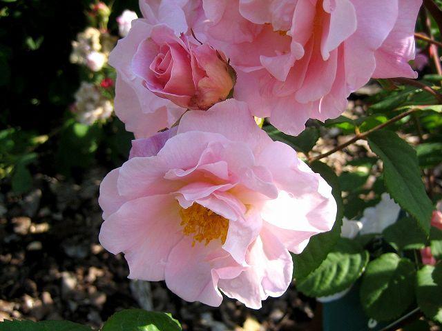 セルバンテス公園のバラたち  4_b0064411_21294919.jpg
