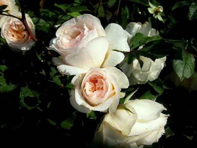 セルバンテス公園のバラたち  4_b0064411_2143070.jpg