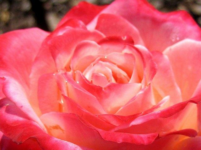 セルバンテス公園のバラたち  4_b0064411_2175557.jpg