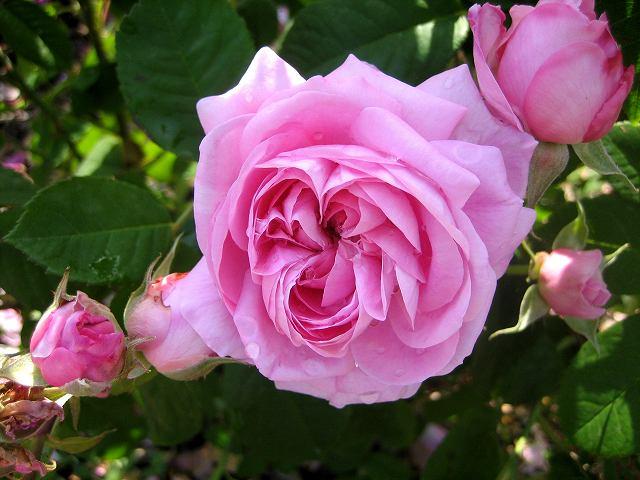 セルバンテス公園のバラたち  4_b0064411_2183367.jpg