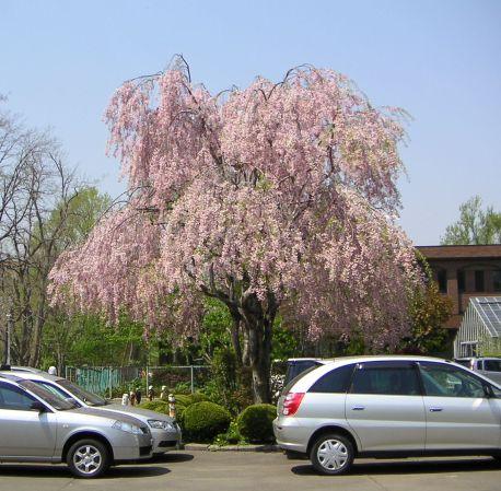 しだれ桜とCoSTEPの思い出_c0025115_21282128.jpg