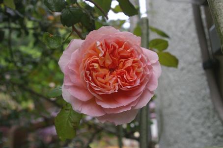 ツルバラの開花で庭は華やかに、そして芳香が(06・5・17)_c0014967_17313080.jpg