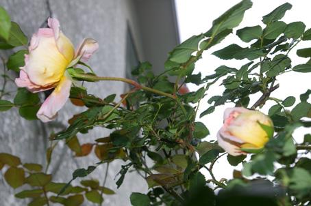 ツルバラの開花で庭は華やかに、そして芳香が(06・5・17)_c0014967_17324151.jpg