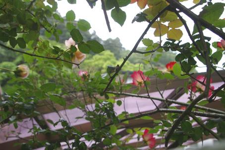 ツルバラの開花で庭は華やかに、そして芳香が(06・5・17)_c0014967_17332393.jpg