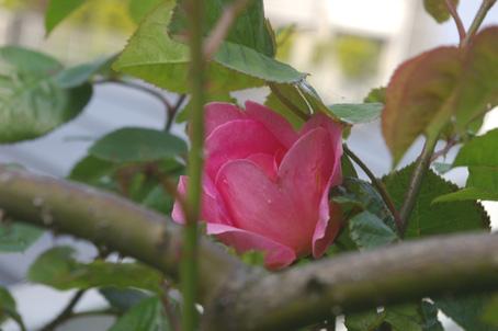 ツルバラの開花で庭は華やかに、そして芳香が(06・5・17)_c0014967_17333830.jpg