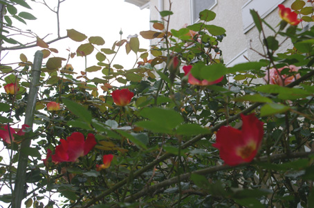 ツルバラの開花で庭は華やかに、そして芳香が(06・5・17)_c0014967_1733686.jpg