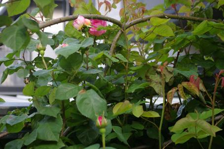 ツルバラの開花で庭は華やかに、そして芳香が(06・5・17)_c0014967_17341721.jpg