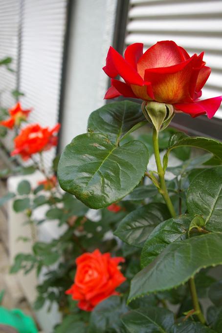 ツルバラの開花で庭は華やかに、そして芳香が(06・5・17)_c0014967_17345717.jpg