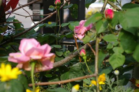 ツルバラの開花で庭は華やかに、そして芳香が(06・5・17)_c0014967_1734621.jpg