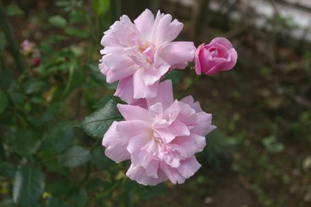 ツルバラの開花で庭は華やかに、そして芳香が(06・5・17)_c0014967_17351582.jpg