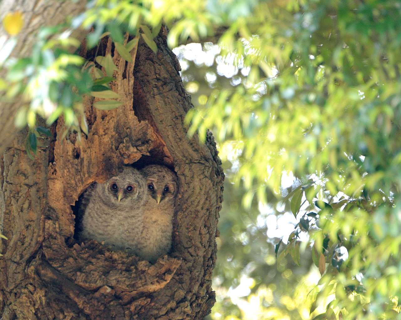 フクロウの雛その2(フクロウの雛ちゃんの可愛い壁紙です)_f0105570_9244588.jpg