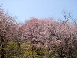 桜満開!_f0096216_19502148.jpg