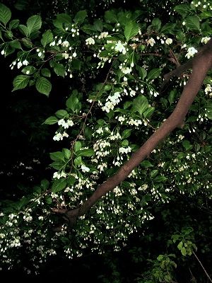 満開!エゴの花 お花見満喫!夜桜ならぬ夜のエゴ_e0010418_14555086.jpg