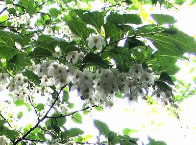 満開!エゴの花 お花見満喫!夜桜ならぬ夜のエゴ_e0010418_14564438.jpg