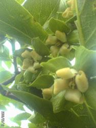 柿の花が咲いたよ。_f0018099_12571047.jpg