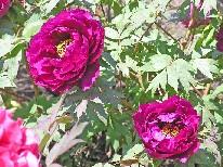 花咲く大根島・・・。_f0045132_15221723.jpg