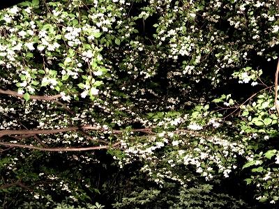 満開!エゴの花 お花見満喫!夜桜ならぬ夜のエゴ_e0010418_16164384.jpg
