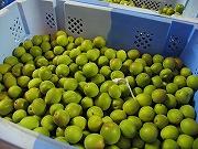 うめわいんの原料の「梅」がやってきました。_d0028135_17101774.jpg