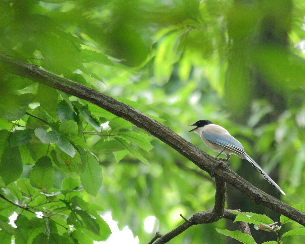 厚木神社のオナガ(野鳥の壁紙あり)_f0105570_20709.jpg